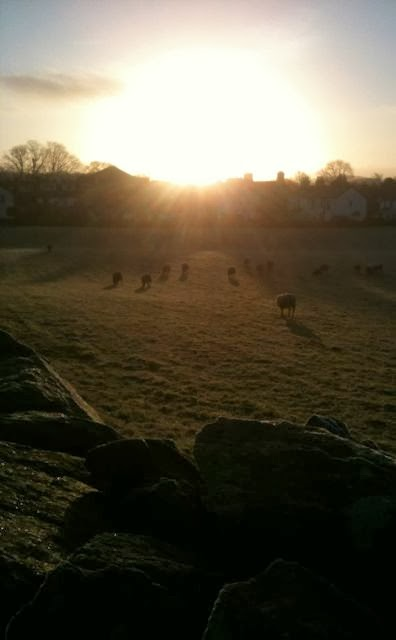 sheep grazing in morning sun
