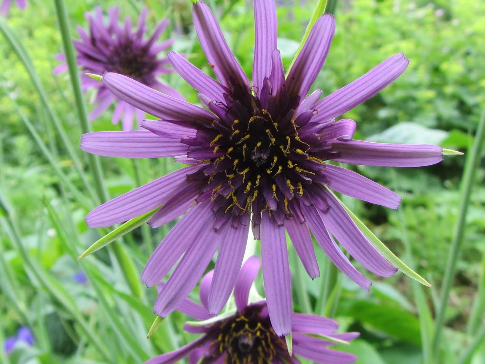 Jan wilde een tuin: paarse morgenster tragopogon porrifolius