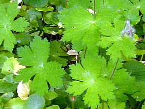Geranium phaeum foliage
