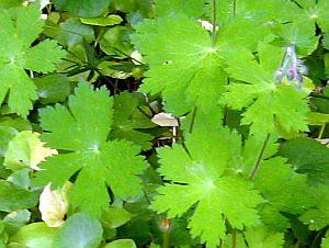 Geranium phaeum foliage