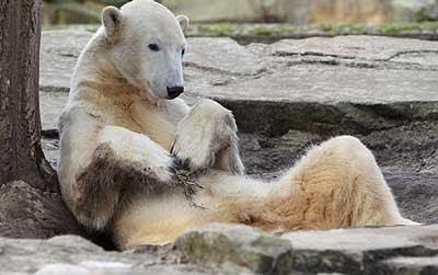 http://4.bp.blogspot.com/-ndUcHrwq9TM/TYUQydinnlI/AAAAAAAAWYU/7lDAIdBRV_g/s400/knut-the-polar-bear.jpg