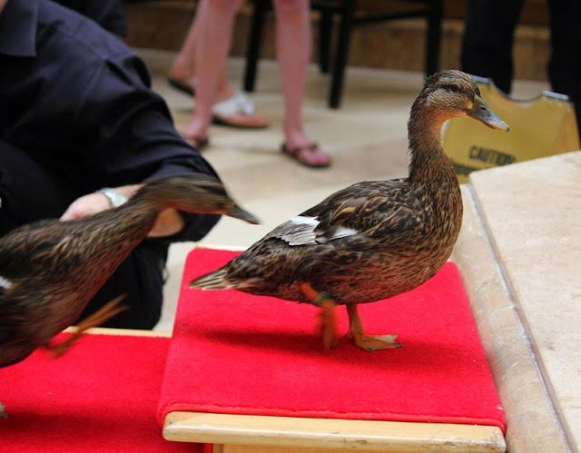 La marcha de los patos mimados del Hotel Peabody en Tennessee, EE.UU.
