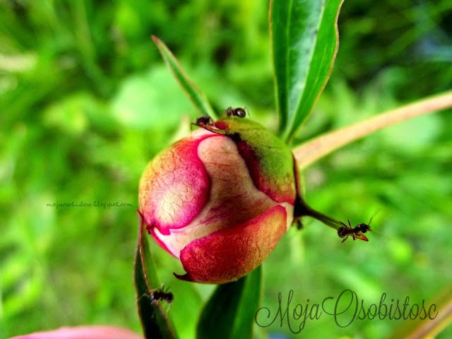 peonie i mrówki