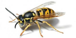 Primul ajutor in cazul intepaturilor de albine, viespe, bondari