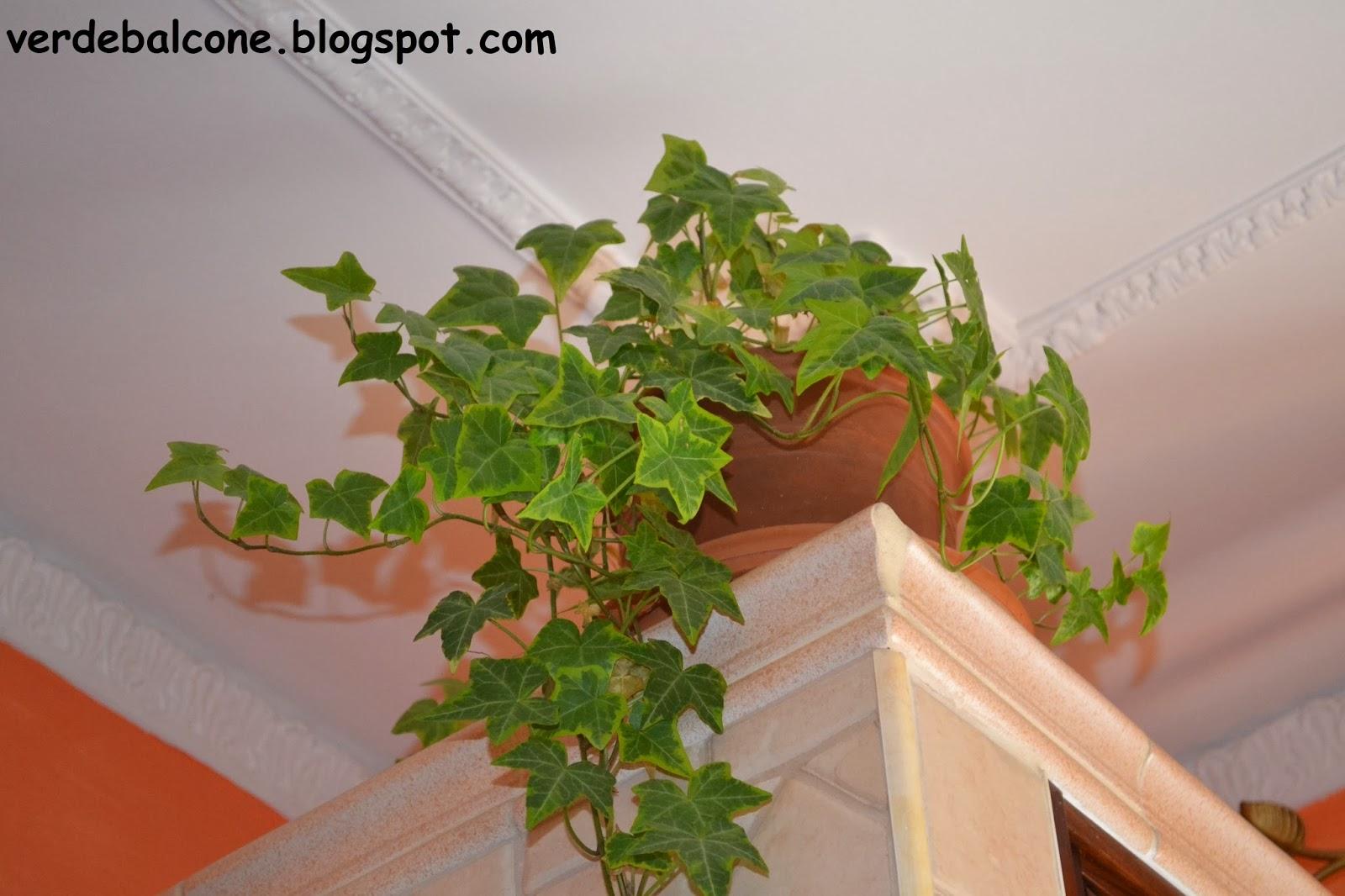 Verde balcone edera regina degli interni - Piante rampicanti da interno ...