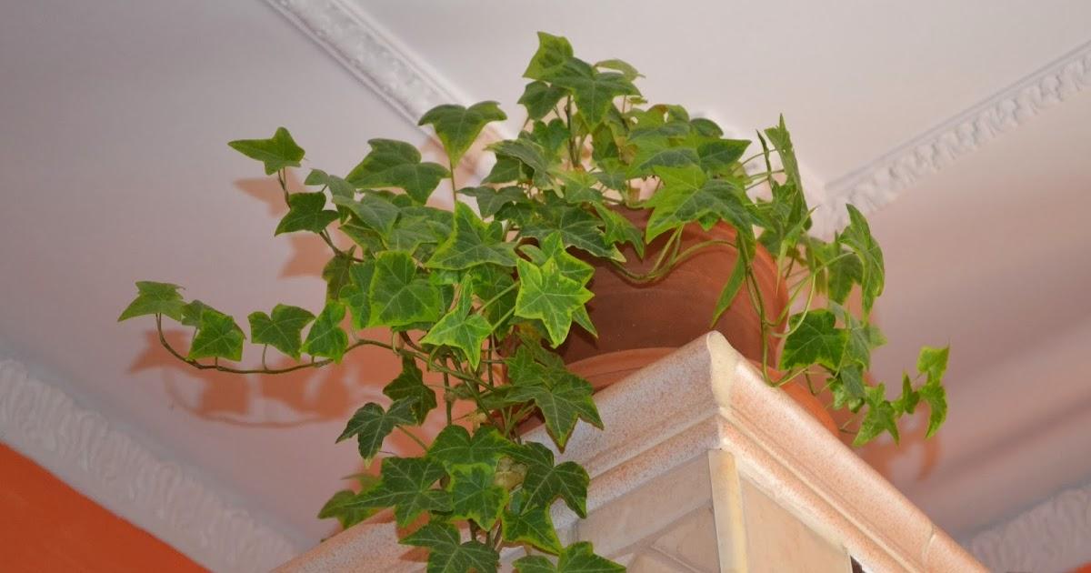 Verde balcone edera regina degli interni for Pianta rampicante sempreverde