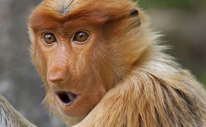 scimmina nasica Borneo