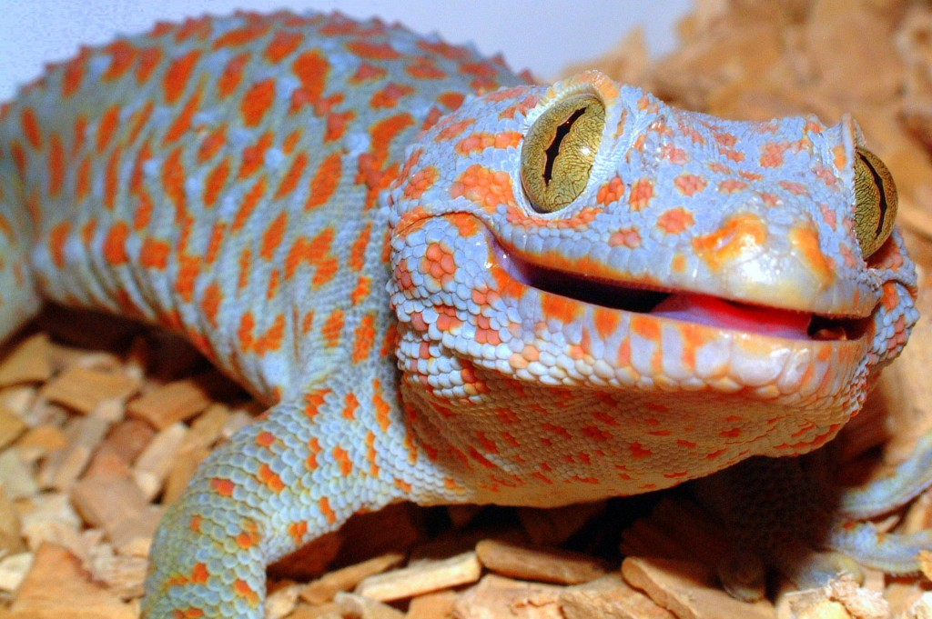 The Gecko Zone The Tokay Gecko