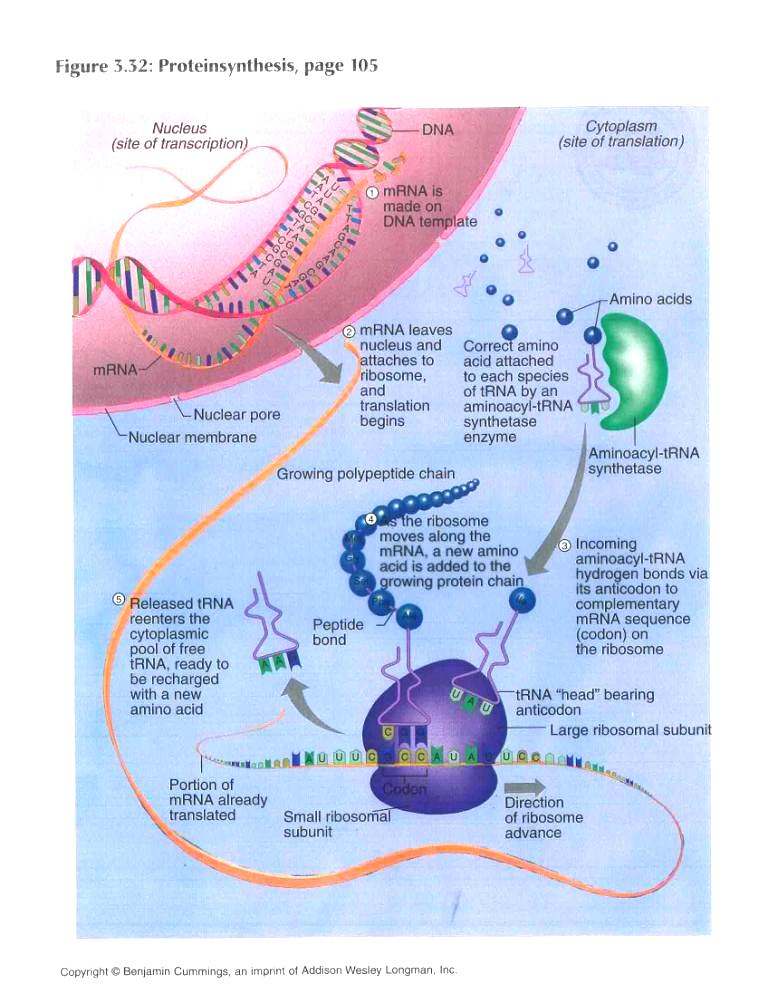 sythesis list Protein synthesis is accomplished through a process called translation in translation, rna and ribosomes work together to produce proteins.