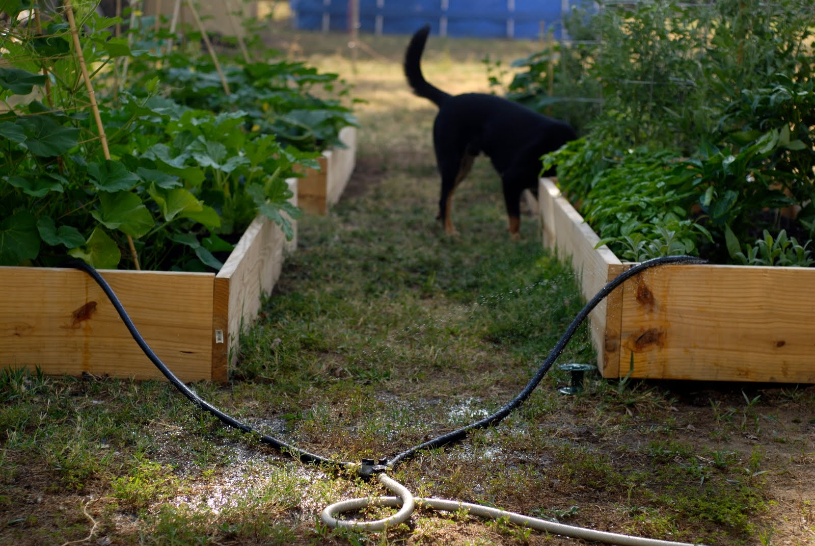 tend soaker hose for the garden