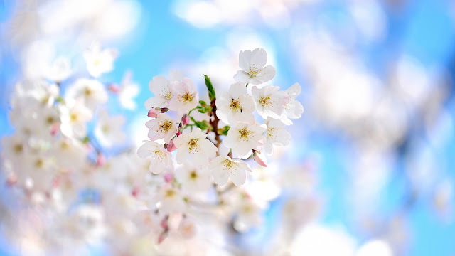 Spring Branches White Flowers Bloom HD Wallpaper