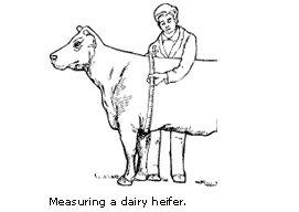 Cách đo vòng ngực trâu bò
