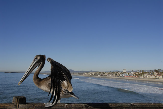 pelican by the pier