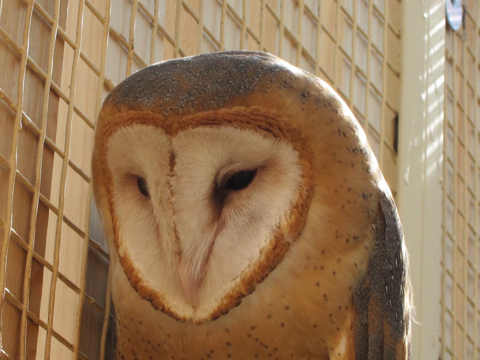 Suburban Naturalist: Owl Calls