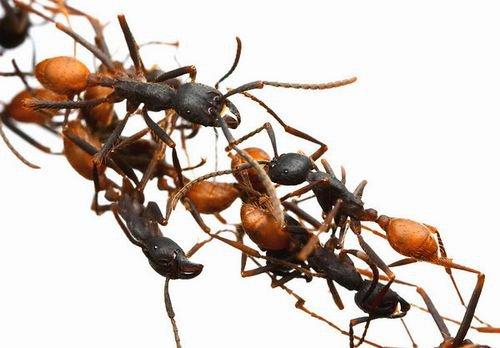 بناء الجسور عند النمل ants+bridge.jpg