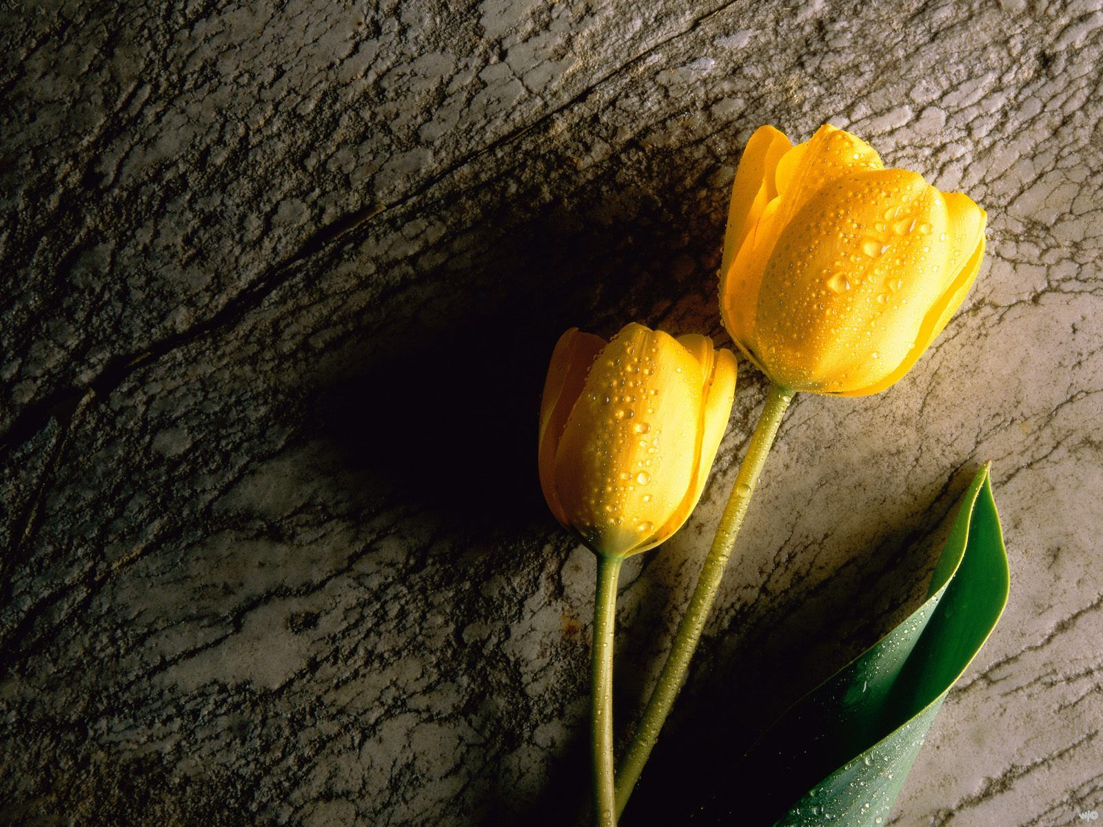 two wet yellow tulips wallpapers - Wallpaper two wet yellow tulips Wallpapers HD