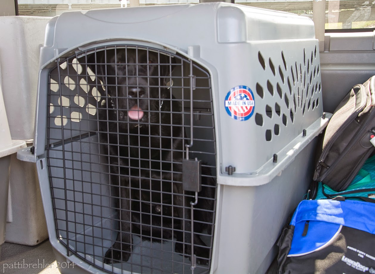A black lab is sitting in an airline crate, looking at the camera with his tongue hanging out.