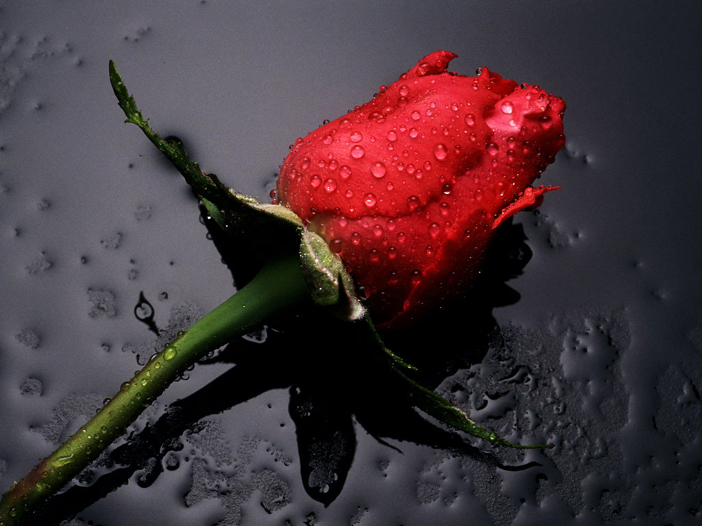 http://4.bp.blogspot.com/-nhllGYSycxY/T9V1VjPEnYI/AAAAAAAAFd0/BBg8g5YsaMI/s1600/Rose-Wallpaper-53.jpg