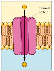 24 Cell membranes - Fluid Mosaic Model of the plasma menbrane ...