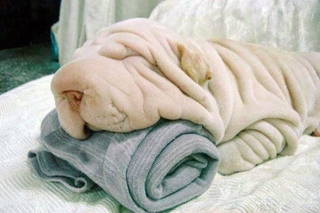 Anjing dan handuk