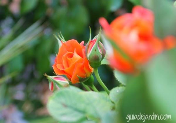 Rosal de la terraza