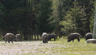 Wildschweine im Forstenrieder Park