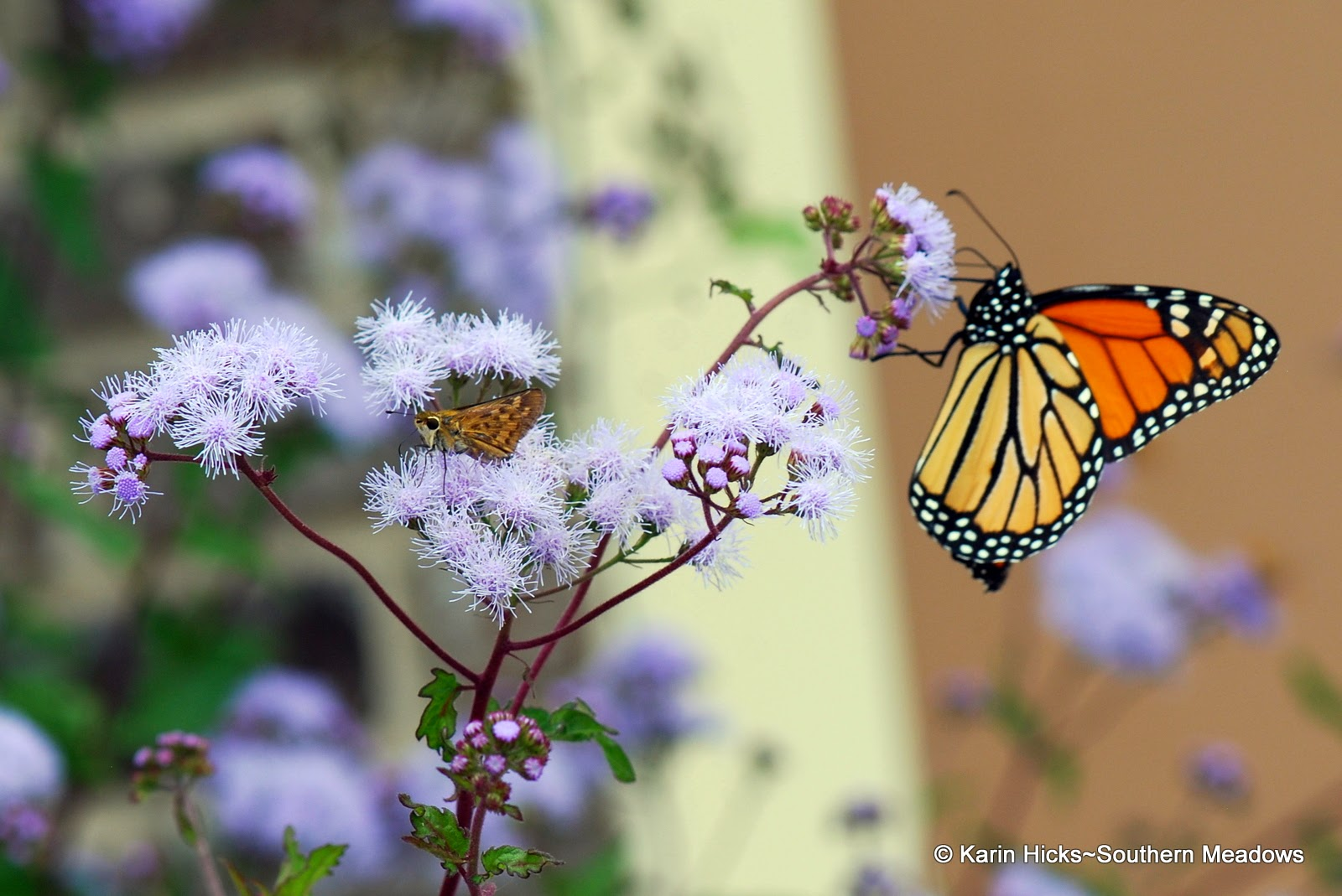 Monarch butterflly and Fiery skipper on ageratum