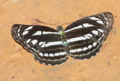 Grey Sailor (Neptis leucoporos)