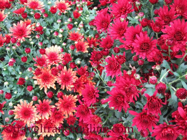 the symbolism of chrysanthemums in odour of chrysanthemums by dh lawrence Reviews the short story `odour of chrysanthemums,' by dh lawrence dh lawrence's 'odour of chrysanthemums': the three endings kalnins, mara // studies in short fictionfall76, vol 13 issue 4, p471 focuses on the different endings of the short story 'odour of chrysanthemums,' by dh lawrence.