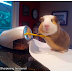 Things This Guinea Pig Does