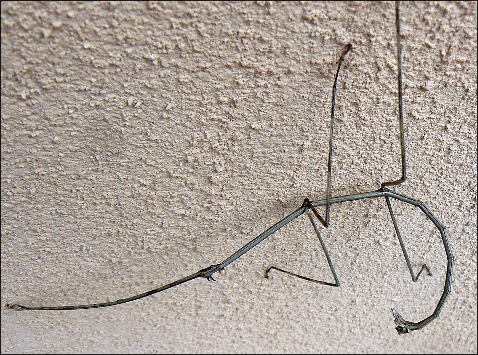 closeup of costa rican stick insect