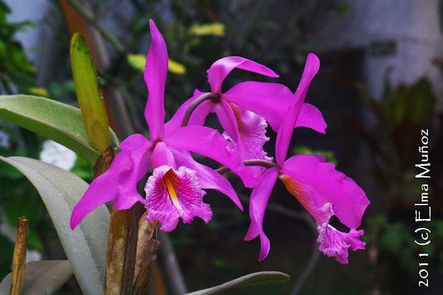 Orquideas del Peru : Cattleya maxima