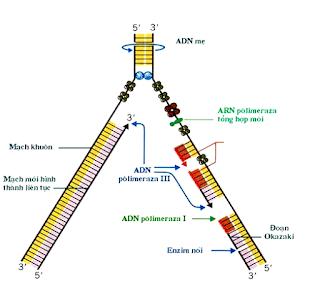 Công thức sinh học quá trình nhân đôi adn