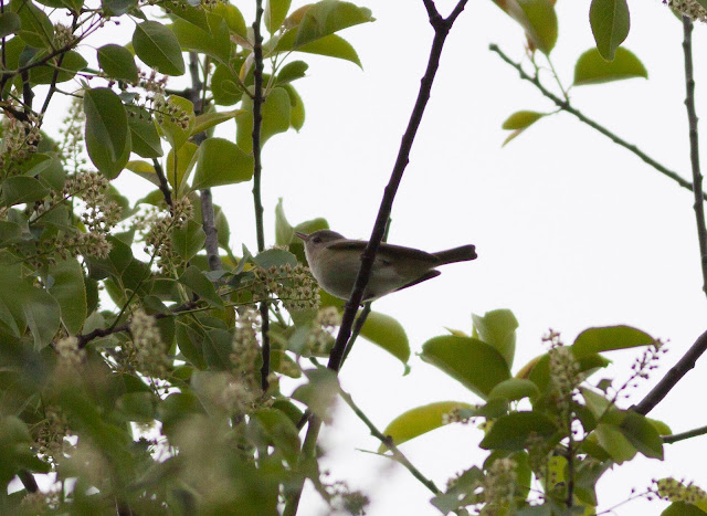 Warbling Vireo - Central Park, New York