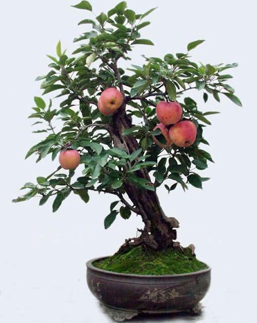 pohon bonsai buah yang menarik dan unik-14