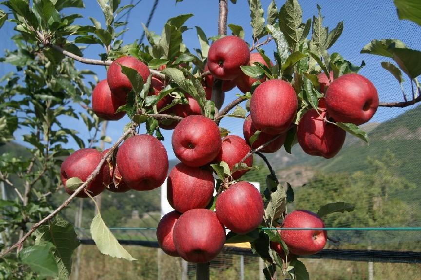 De recogida de las primeras variedades de manzana plantadas en la ...