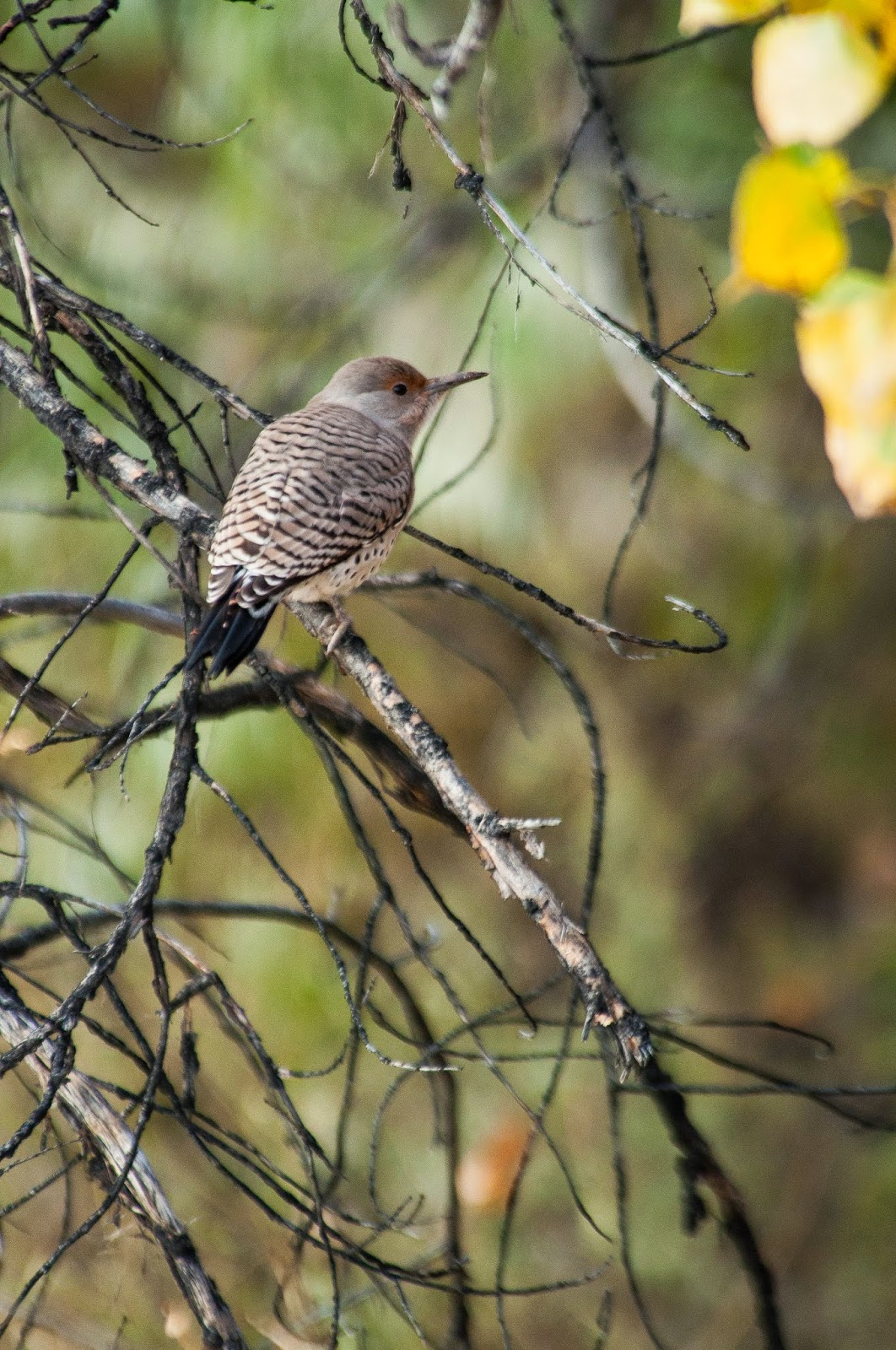 Northern Flicker, Chatfield State Park