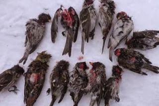 The Great Tit, Burung Terkejam di Dunia