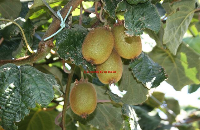 Arboles frutales en agosto y alguna foto m s for Plantas frutales