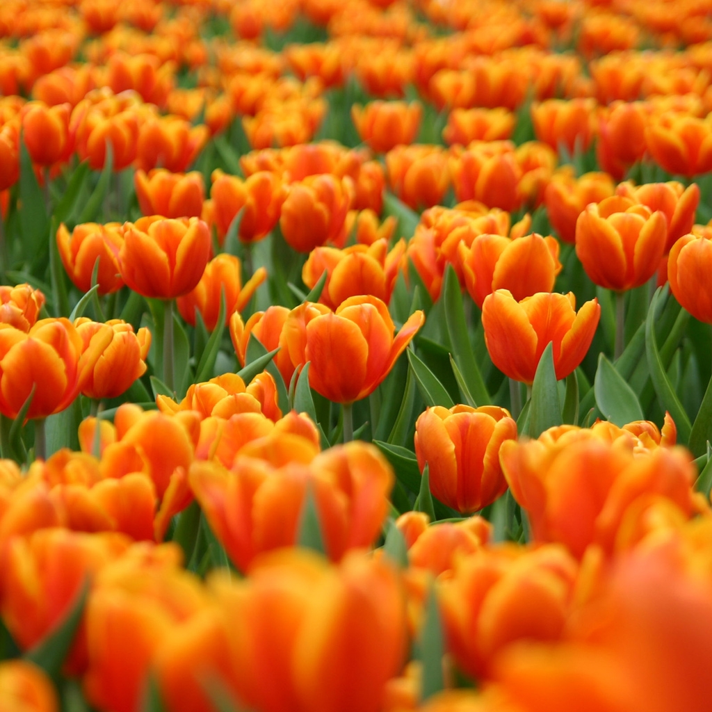 Tulip Wallpaper: ~ VioletZ Realm ~: Gaga Over Tulips