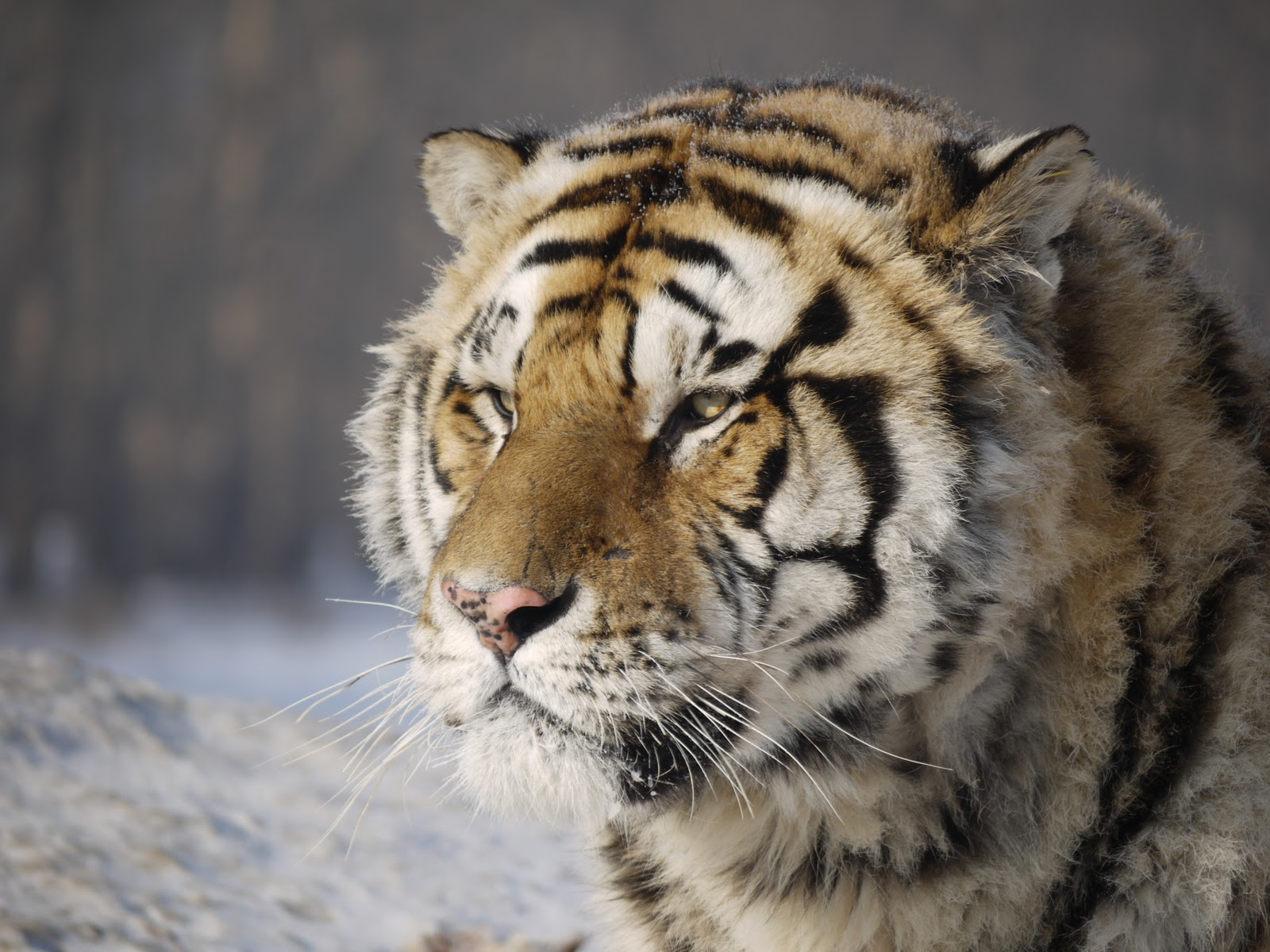 photoscope  siberian tigers
