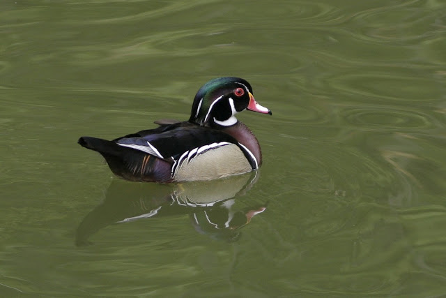 Male Breeding Plumage Wood Duck