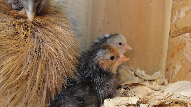 Silkie hen with newly hatched chicks