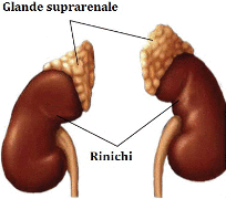 Suprarenalele, stapanele metabolismului