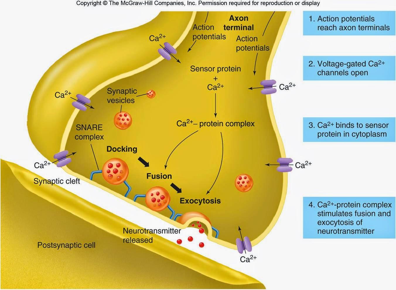 Synaptic cleft dopamine