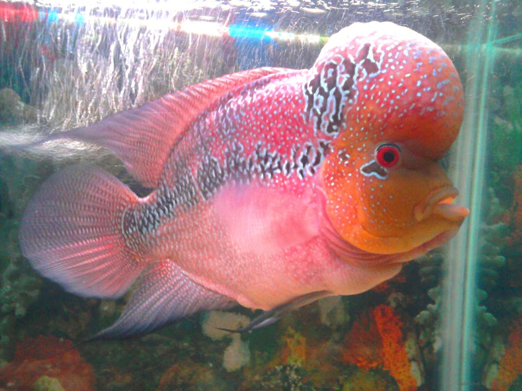 Flowerhorn The Hybrid Cichlids: BiG Head Flowerhorn Fish