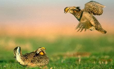 Prairie Chickens: Strut Your Stuff - 10 Strange Animal Mating Rituals (Slideshow)