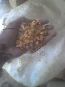 maiz sin pilar