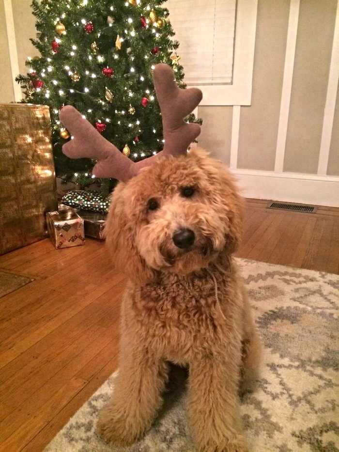adorable dog pictures, fluffy dog wears antler hat