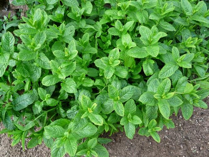 Plantas for Hierbas y plantas medicinales